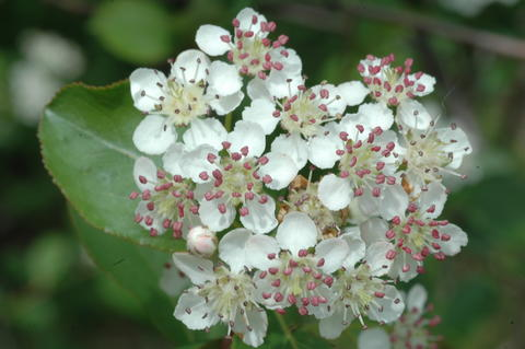 Cluster of white flowers of black chokecherry with pink anthers