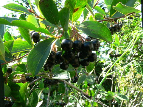 Cluster of dark black fruit of black chokecherry surrounding by foliage