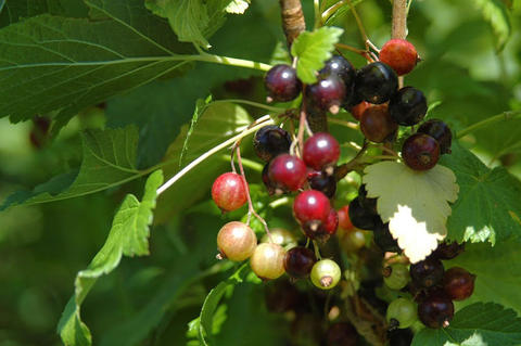 Black Currants Growing On Plant