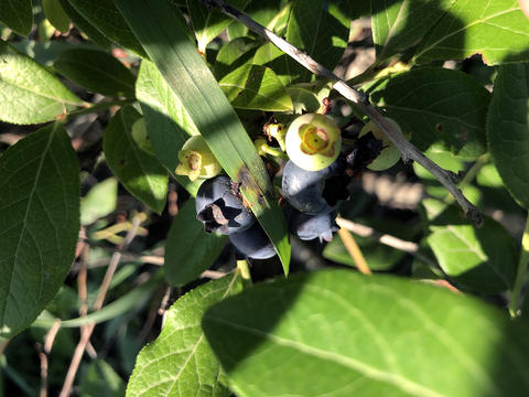 A small bunch of blueberries have bird droppings on them. The droppings are partially hidden by a weed.