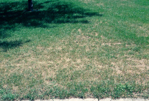 Billbug feeding causes brown patches on the lawn