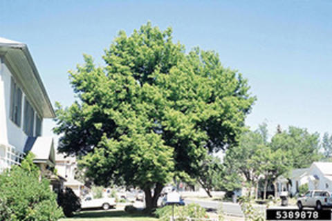 Tall, green tree with an irregular canopy