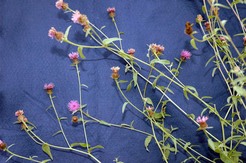 a few brown knapweed plants laid on a blue background