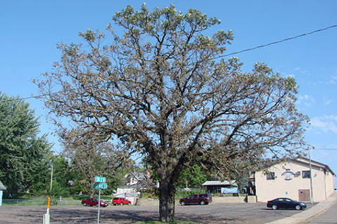 Large mature oak tree with no leaves.