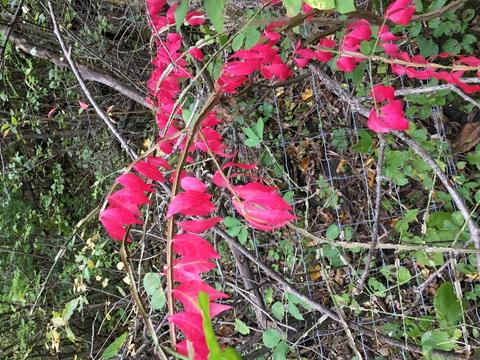 Bright red fall leaves on a hedge of burning bush.