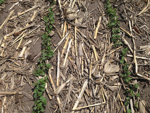 Two rows of young soybean plants with crop residue between the rows.