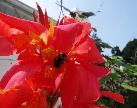 A bumblebee leaves a salmon-colored canna lily after pollinating.