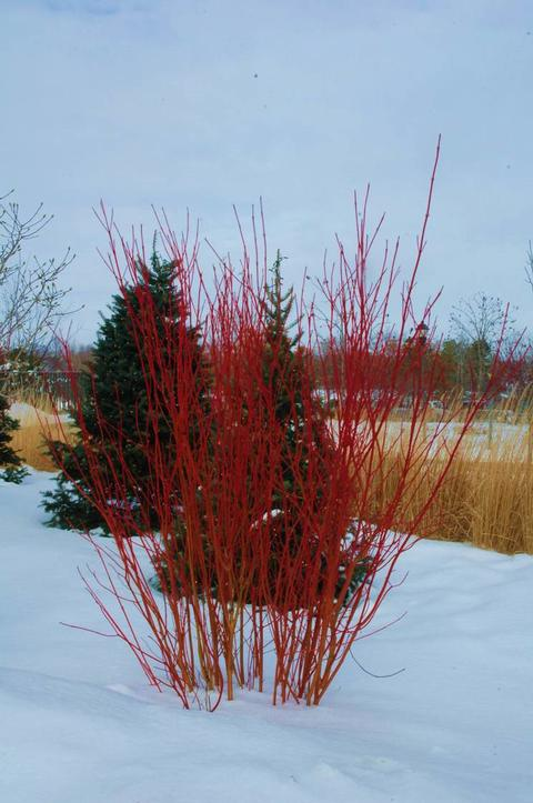 A dogwood shrub in winter showing bare red stems surrounded by snow