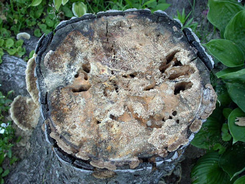 Tree stump with tunnels and holes in the top surface with sawdust outside in a garden