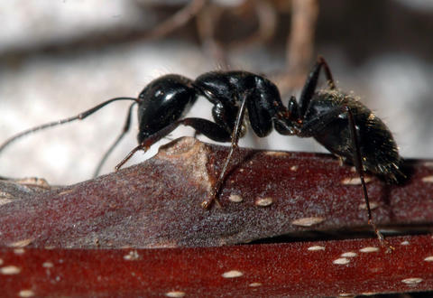 Dark colored carpenter ant worker on a wooden stem.