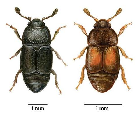 Close up illustrations of two sap beetles that spread oak wilt fungus
