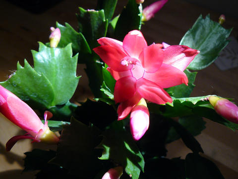 Close-up of Christmas cactus' pink-red flowers