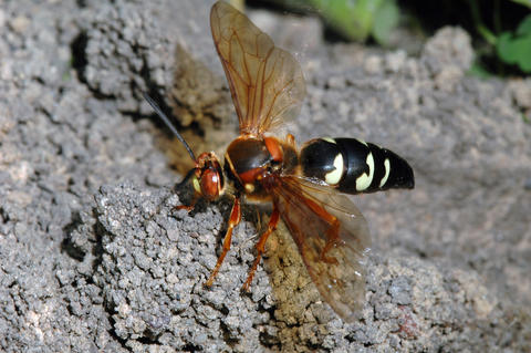 Wasp with brownish wings and black body with white markings on a mound of dirt.