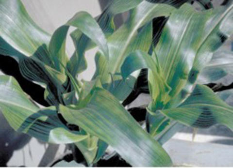 corn plant with bluish green tint to leaves
