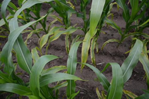 corn plants with lower leaves turning brown and striped appearance on the rest of the leaf