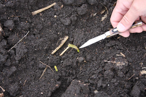 corn-seedling-frost-damage
