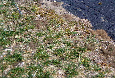 Section of grass with mounds of dirt where ants are nesting.
