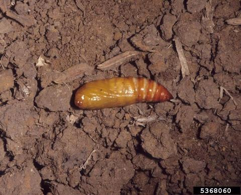 Black cutworm pupa