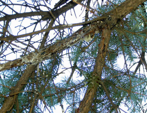 pine tree branch with white powdery mold , decay and substance oozing from branch