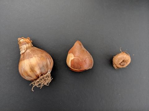 Planting Bulbs Rhizomes And Tubers Umn Extension