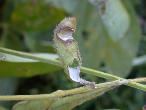soybean pod damaged/eaten by a grasshopper