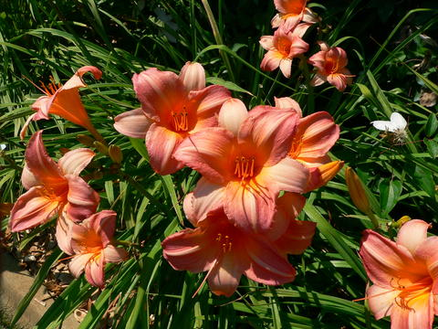 Many pink-orange flowers in a garden bed with long narrow leaves in the background.