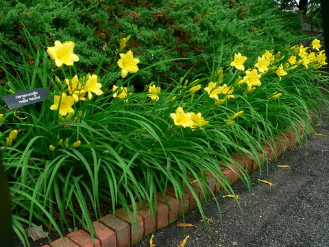 Bright yellow flowers with long narrow green leaves in a brick-lined garden bed with an evergreen shrub in the background.