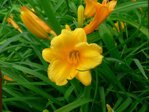 Daylilies umn extension gold flower with two buds in front of narrow dark green leaves mightylinksfo