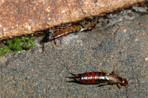 A reddish brown insect with black stripes and antennae-like structures