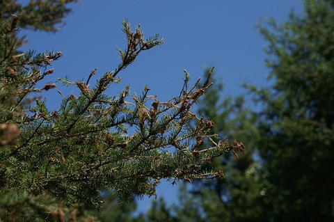 Eastern spruce budworm damage to new foliage of white spruce