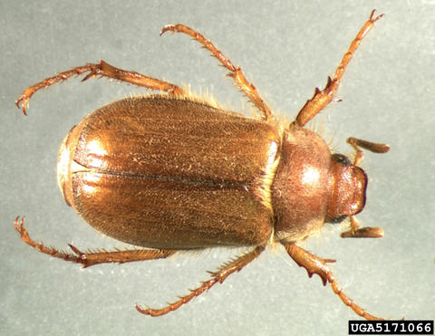 Light brown, hard-shelled adult beetle.