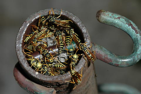 Many brown and yellow wasps gathering in an opening of a metal pipe