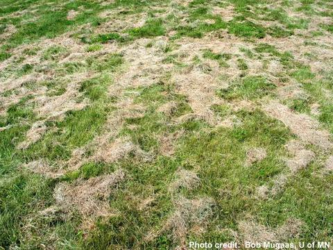 green lawn covered with brown grass clippings