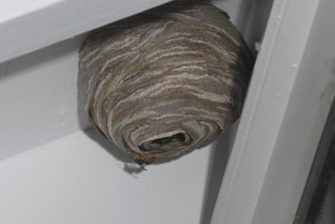 round nest hanging under eave of house with wasp on the edge of the opening