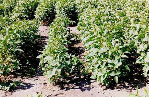 stunted and healthy soybeans