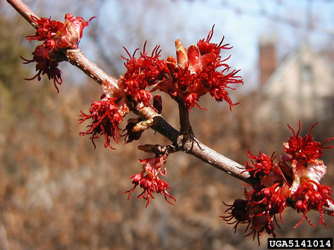Branch of red maple with spiky red female flowers