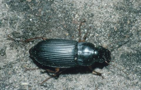 A black beetle with several lines on the back