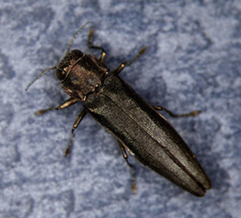 Bronze-coppery beetle with 6 legs