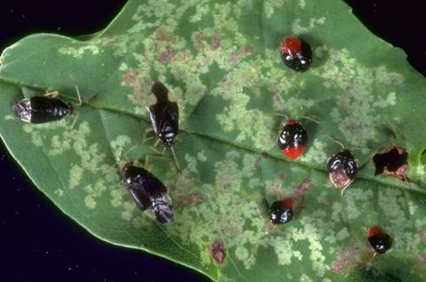 Black adults and reddish nymphs of ash plant bug seen on a leaf with discolored patches