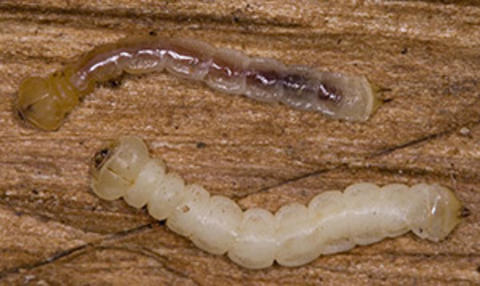 2 pale yellow larvae with a flattened head