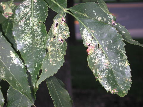 Yellow spots make the green ash leaves look blotchy