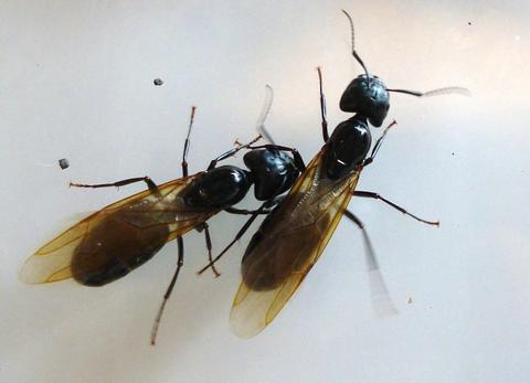 two winged carpenter ants side by side