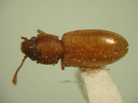 A reddish brown beetle-like insect