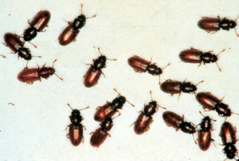 Several reddish-brown insects with black heads and antennae