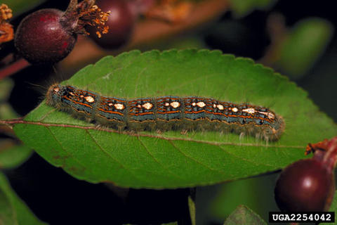 Blue-black forest tent caterpillar with hairs on the side of the body