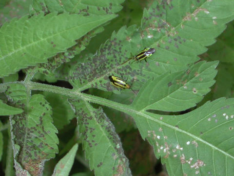 Yellow four-lined bug adults on a leaf with brown spots
