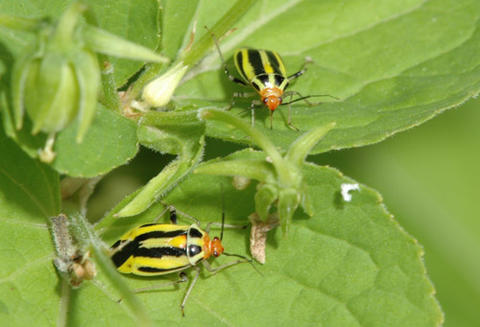 Two yellowish four-lined adult bugs with four vertical black stripes