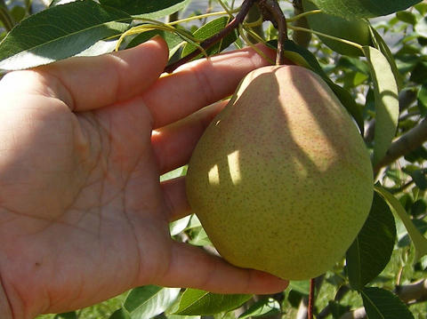 hand holding pear ready to pick from tree