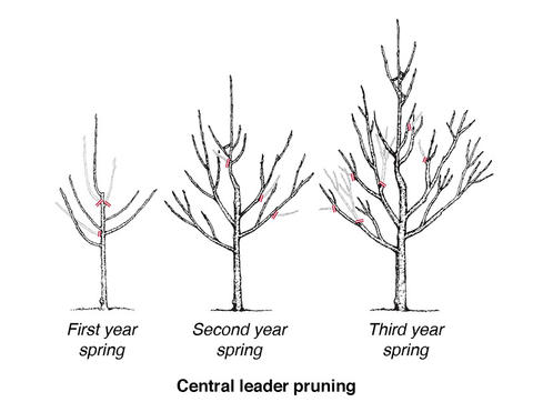 diagram of the central leader method of pruning fruit trees showing a small, first-year tree with 5 branches, then a second year tree with small branches coming off the 5 main branches, then a third-year tree with many new branches growing to make a cone-shaped tree