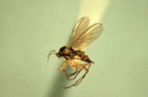 A brownish fly-like insect with light colored wings and long legs